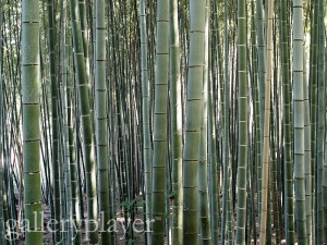 Trunks of Bamboo Trees in Forest