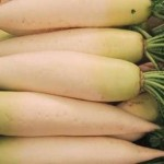 Japanese daikon