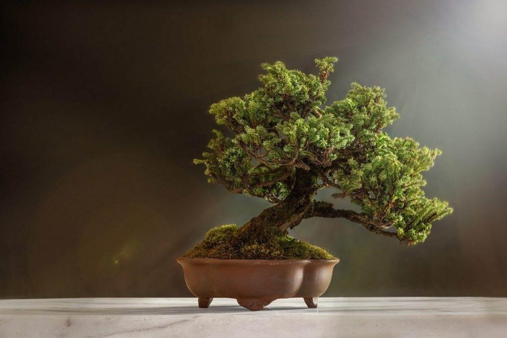 bonsai, plant, pot