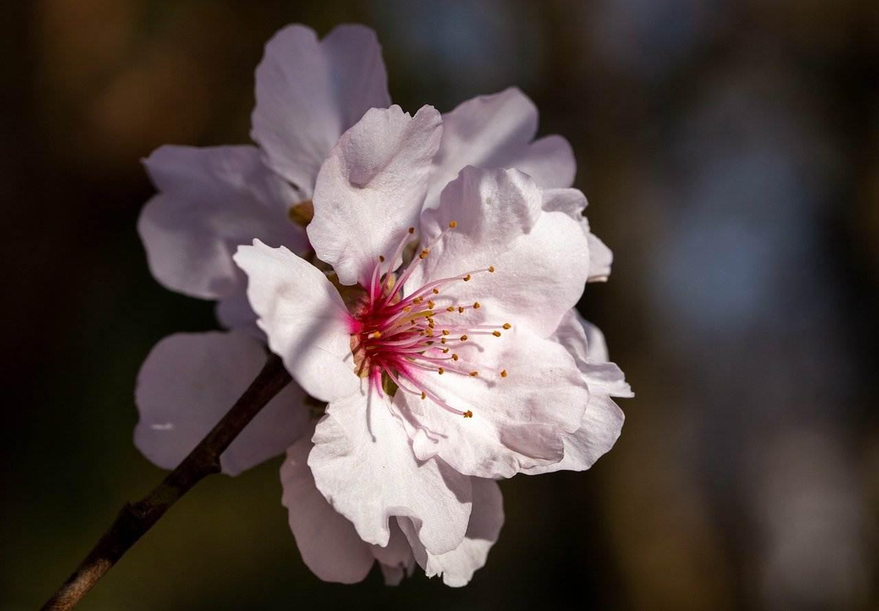 cherry blossom, flowers, spring