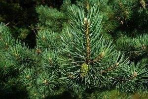 pine, needles, conifer