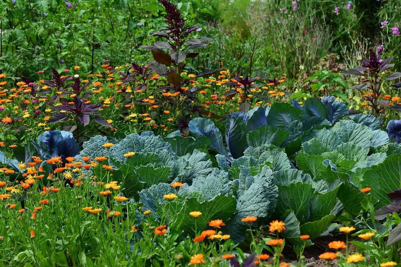 white cabbage, garden, vegetable growing